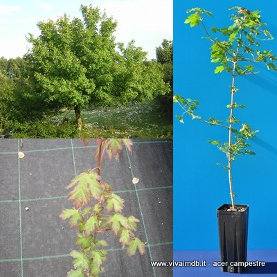 ACER CAMPESTRE Acero Field Maple plant pianta o Prebonsai <b>vaso quadro</b> altezza 60-90cm